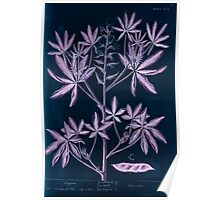 A curious herbal Elisabeth Blackwell John Norse Samuel Harding 1739 0082 Lupin Inverted Poster