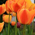 Tulip Beds by AustraliaFund12