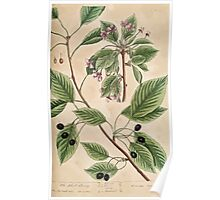 A curious herbal Elisabeth Blackwell John Norse Samuel Harding 1739 0440 The Black Cherry Poster