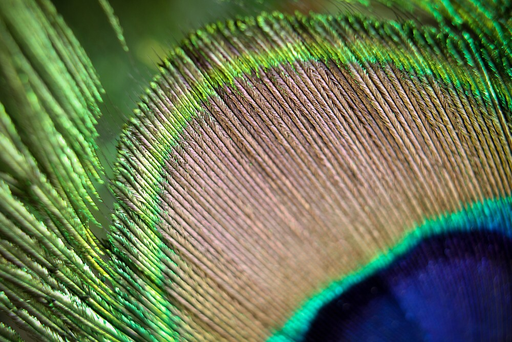 Indian Peafowl blue-green or green colored plumage. by Brett Harper