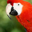 Scarlet Macaw  by Jenny Dean