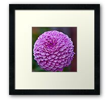 Fully open and wet Framed Print