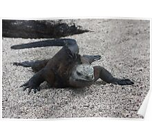 Marine Iguana snaking through the sand Poster