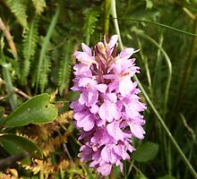Southern Marsh Orchid by DEB VINCENT