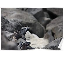 Hide and seek with Marine Iguanas Poster