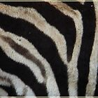 zebra stripes by Deb Gibbons