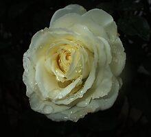 A wet rose... by rasim1