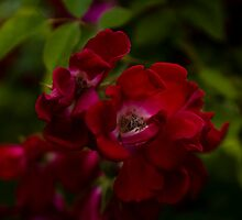Wild Red Rose? by David J Knight