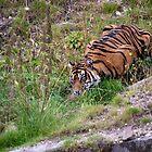 Close Encounters : the Tiger by Niek Broens