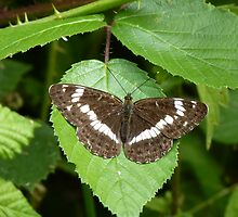 White Admiral by Tony4562