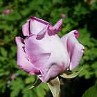 Rose Bud .. Lilic by LoneAngel