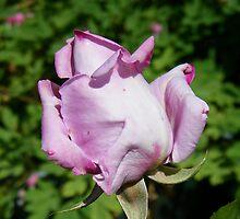 Rose Bud .. Lilic by LoneAngel