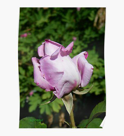 Rose Bud .. Lilic Poster