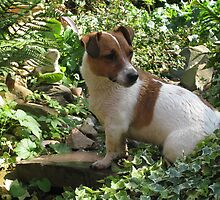 sitting in wait - Jack Russell by alwaysbeautiful