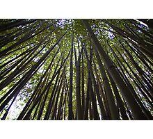 Tall Bamboo. Garden at Coleton Fishacre,Cornwall  Photographic Print
