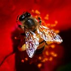 A Honeybee on Red Rose by Meeli Sonn