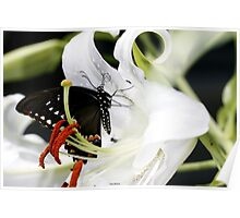 Black Swallowtail Butterfly on a Tiger Lily Poster