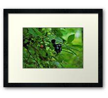 Blueberry's at last  Framed Print