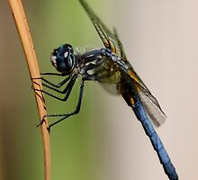 Profile of a Blue Dasher by Wolf Read