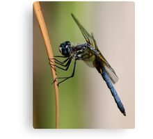 Profile of a Blue Dasher Canvas Print