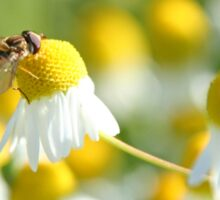 Hover fly on camomile Sticker