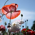 Poppies in the sun by Esther  Moliné