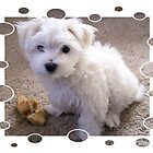 Maltese Puppy by bjredmond