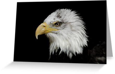 Eagle Portrait by Peter Barrett