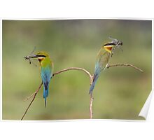 blue tailed bee eaters on perch Poster