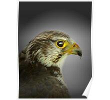 saker falcon Poster