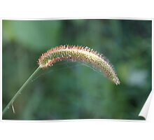 Yellow foxtail in Wakarusa Poster