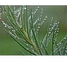 Larch and silver drops. Views (153) by Brown Sugar . Photographic Print