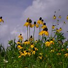 Black-eyed Susans Against the Cornfield and Sky by mltrue