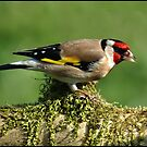 Goldfinch (carduelis carduelis) by ten2eight