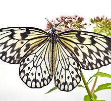 Paper Kite butterfly (Idea leuconoe) by Steve  Liptrot
