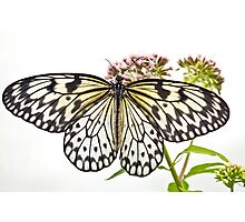 Paper Kite butterfly (Idea leuconoe) Photographic Print