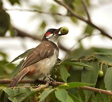 red whiskered bulbul with a berry  by kvbhat