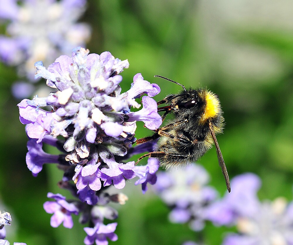 Peebles Bumblebee on Lavendar by photobymdavey