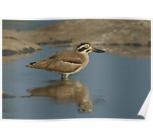 stone plover  Poster