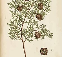 A curious herbal Elisabeth Blackwell John Norse Samuel Harding 1737 0326 The Male Cypress Tree by wetdryvac