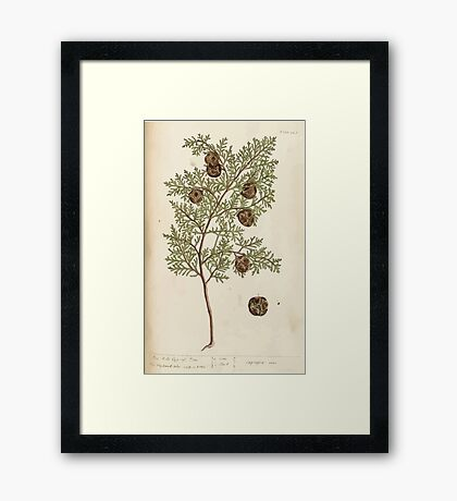 A curious herbal Elisabeth Blackwell John Norse Samuel Harding 1737 0326 The Male Cypress Tree Framed Print