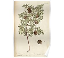 A curious herbal Elisabeth Blackwell John Norse Samuel Harding 1737 0326 The Male Cypress Tree Poster