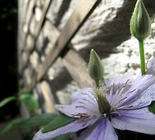 Climbing Clematis by Pippa Carvell