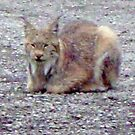 Lynx III by copperhead