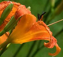 day lily  by AKimball