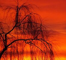 Willow over orange sky by franceslewis