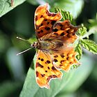Comma Butterfly by larry flewers
