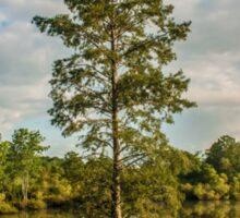 Bald Cypress in the Morning Sticker