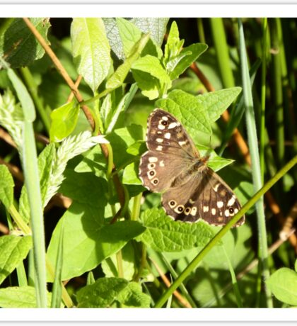 Speckled Wood Butterfly Sticker