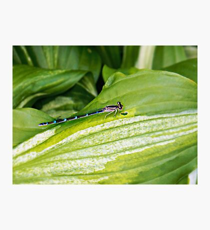 Aqua Dragonfly On Leaf  Photographic Print